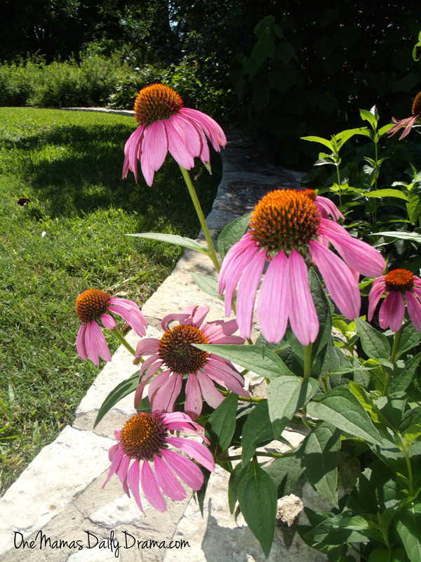 5 flowers that attract butterflies and hummingbirds: purple coneflower