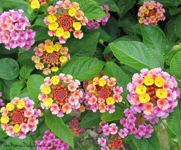5 flowers that attract butterflies and hummingbirds: lantana