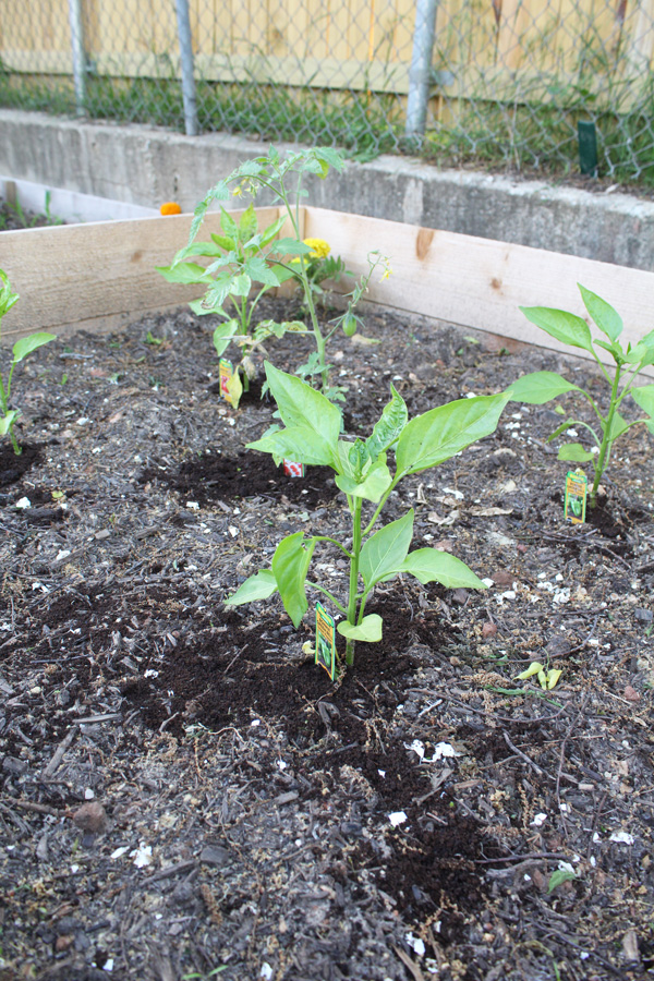 Tomatoes, bell peppers, and carrots are planted together as companions