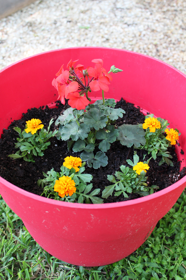 geraniums and marigolds in a red container